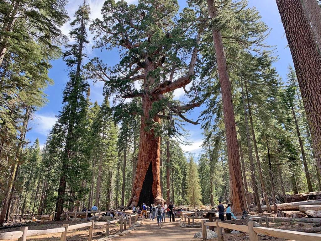 gigant sequoia yosemite